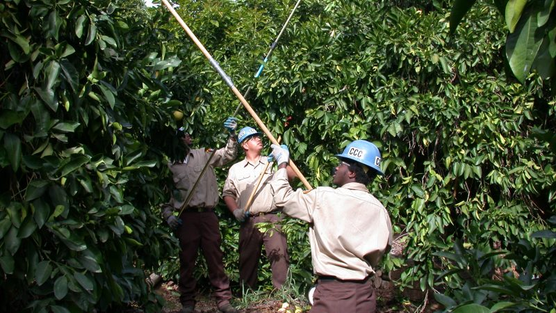 Three Corpsmembers with extension poles work to remove pests from fruit trees