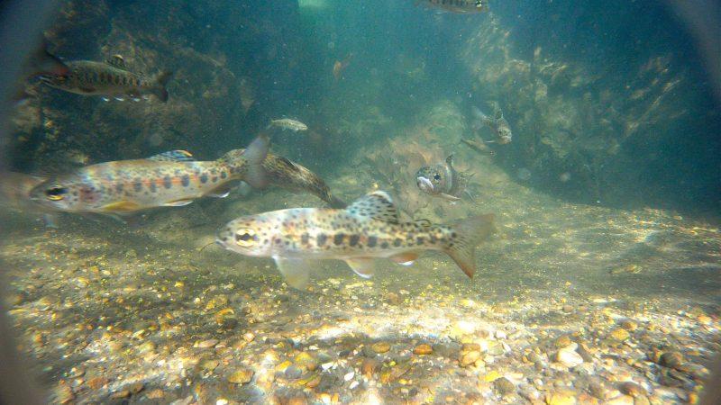 image salmonid fish