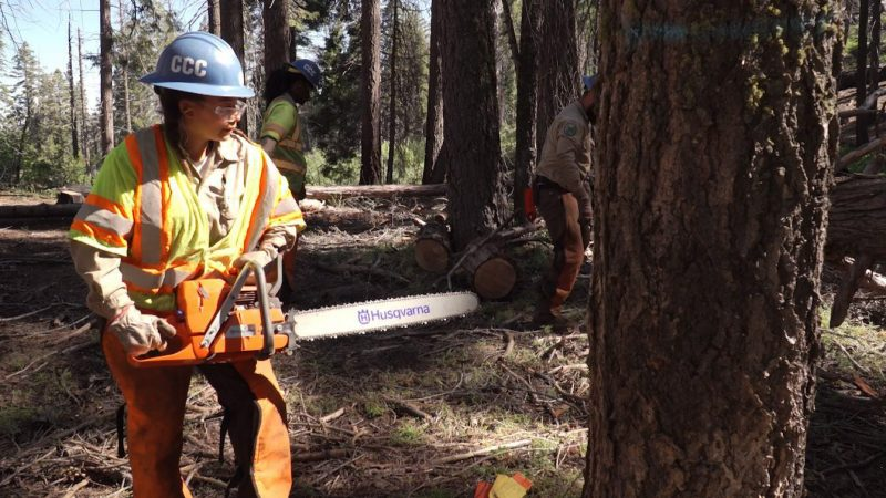 Female Corpsmember in protective equipment holds chain saw preparing to fell dead tree