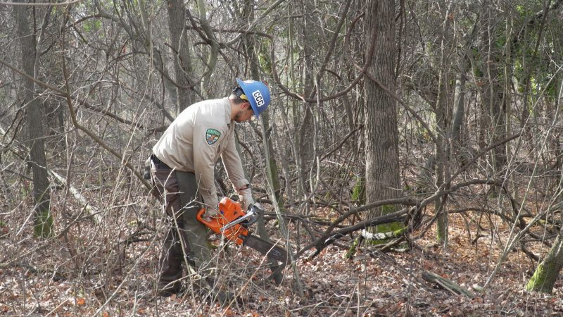 man wearing blue helmet and proper PPE uses chainsaw to cut downed tree branches in wooded park