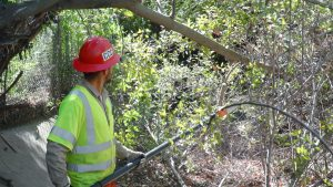 A Corpsmember in safety equipment in left foreground uses a pole saw to cut tree branches in the background.