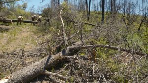 foreground features fire damaged tree fallen over a trail, while ccc corpsmembers work on another tree in the deep background